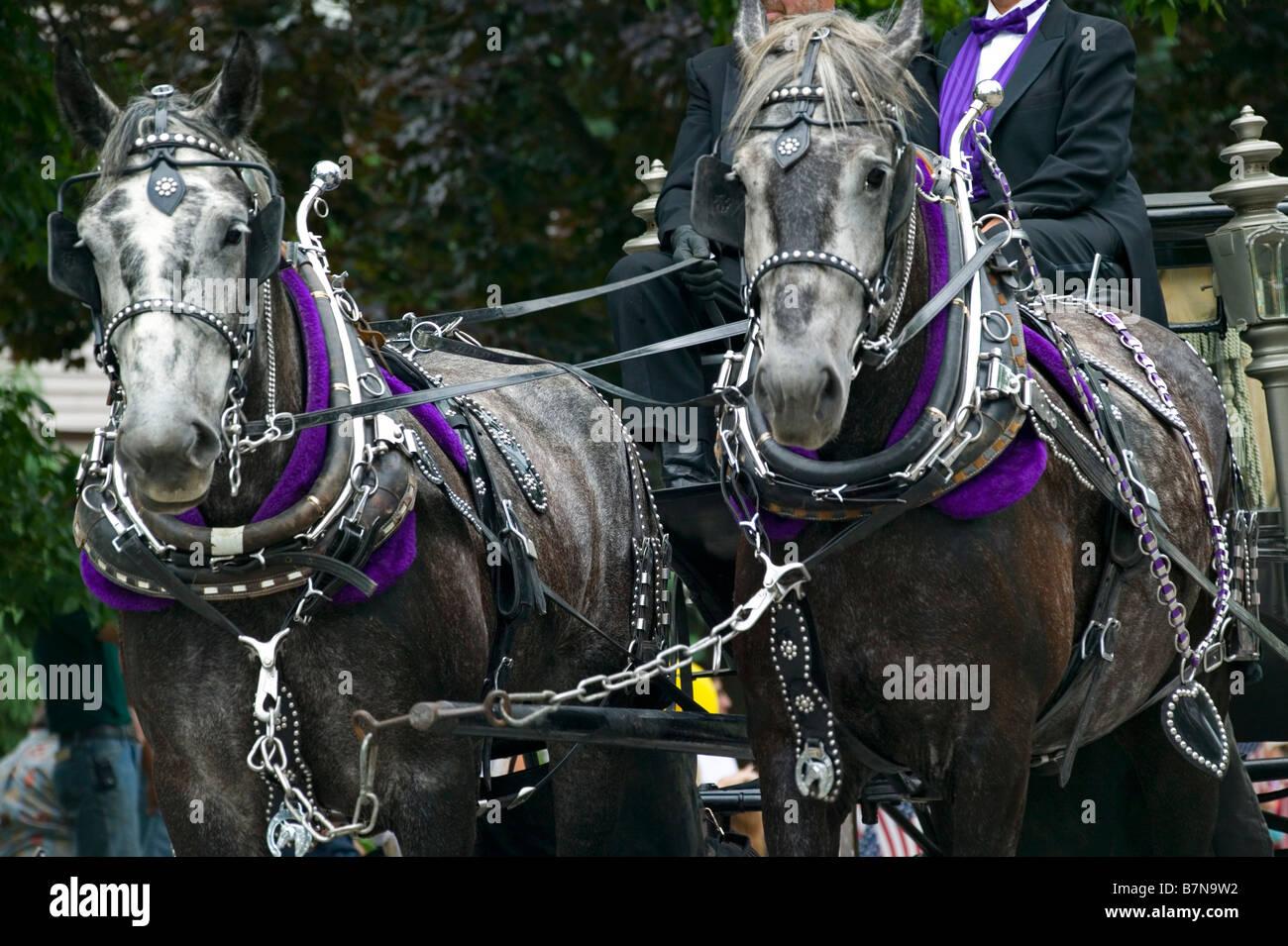 Draft horses in full ornamental harness. - Stock Image