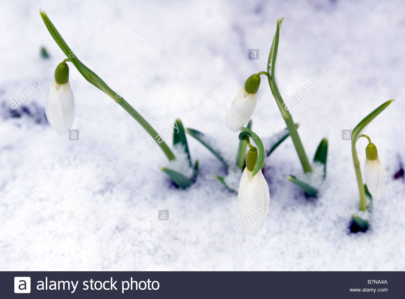 Galanthus elwesii snowdrop flowers poking through a snowfall in a UK garden. Snowdrops flowering in snow. - Stock Image