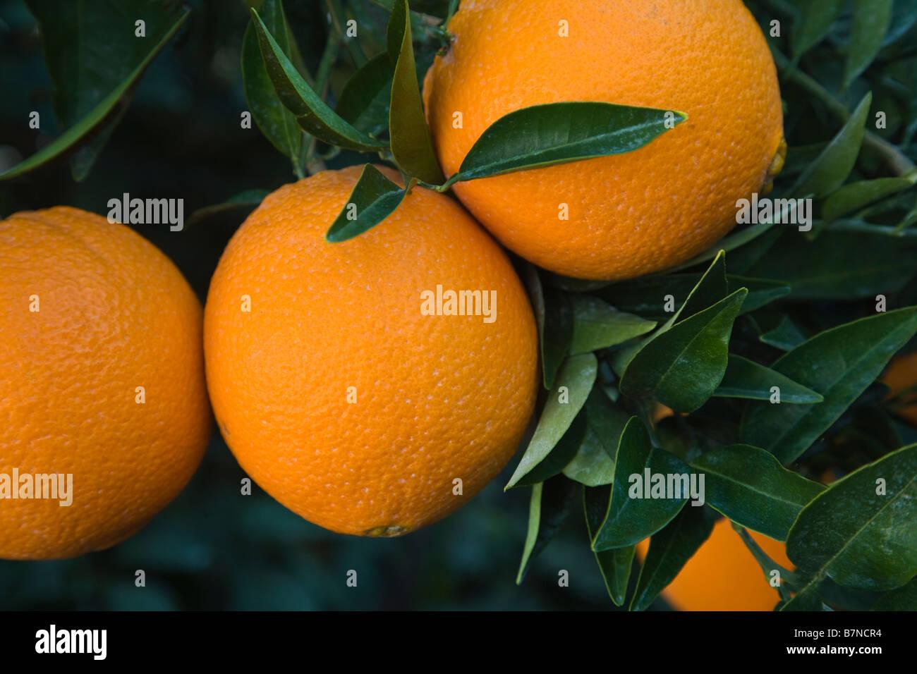 Mature Navel Oranges 'Washington' variety hanging  on branch - Stock Image