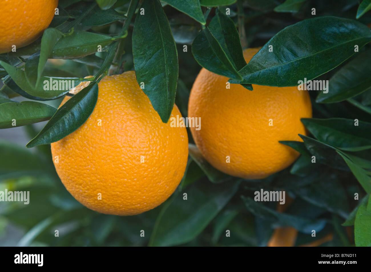 Mature Navel  Oranges  'Washington' variety hanging  on branch. - Stock Image