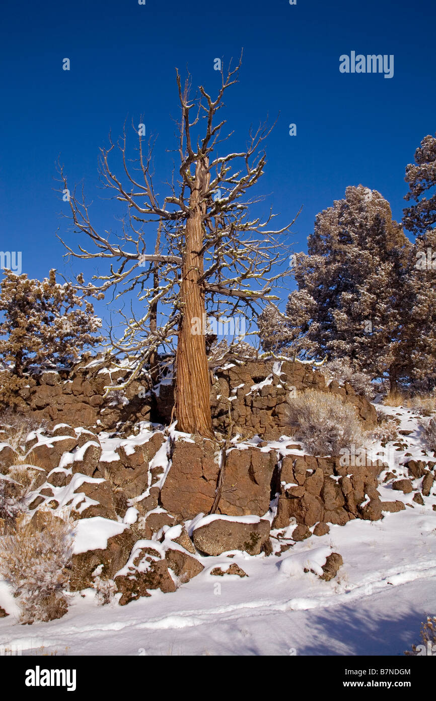 Ancient juniper trees growing from a lava flow after a January snow storm in the Badlands Wilderness Area, central - Stock Image