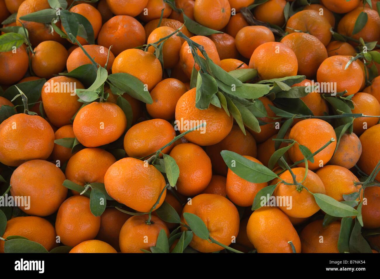 Harvested Mandarins 'Murcott' variety. - Stock Image
