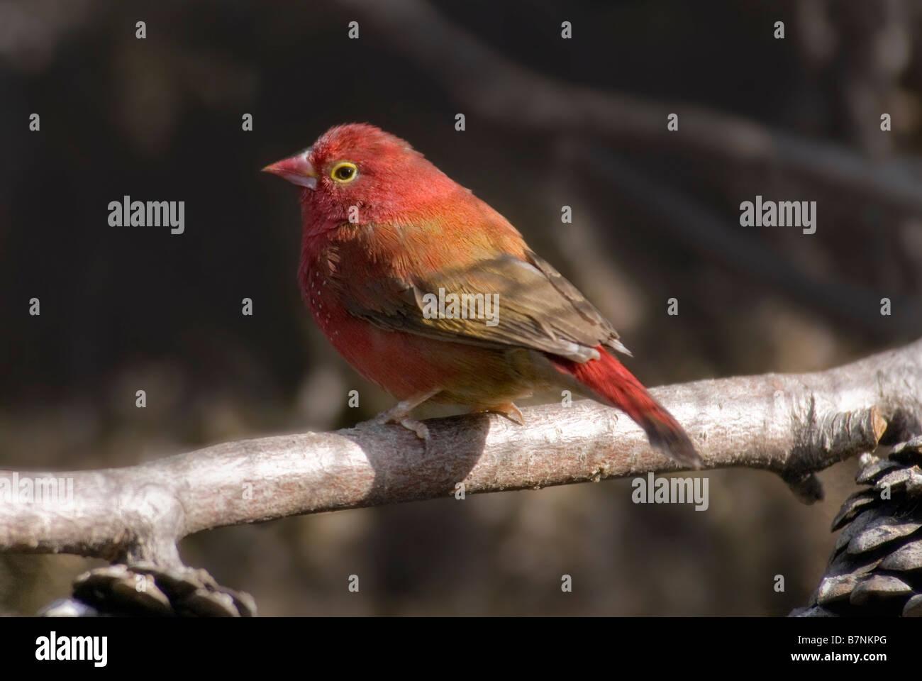 Red-billed Firefinch male 'Lagonosticta senegala' Stock Photo