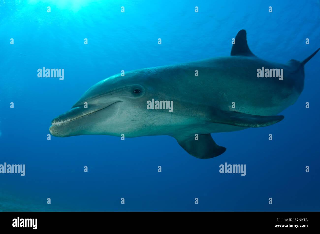 Bottlenose Dolphin Tursiops truncatus Caribbean Sea Honduras - Stock Image