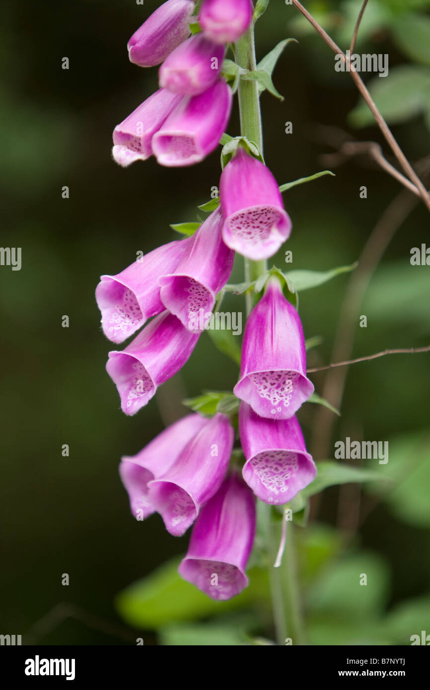 Foxgloves flowers - Stock Image