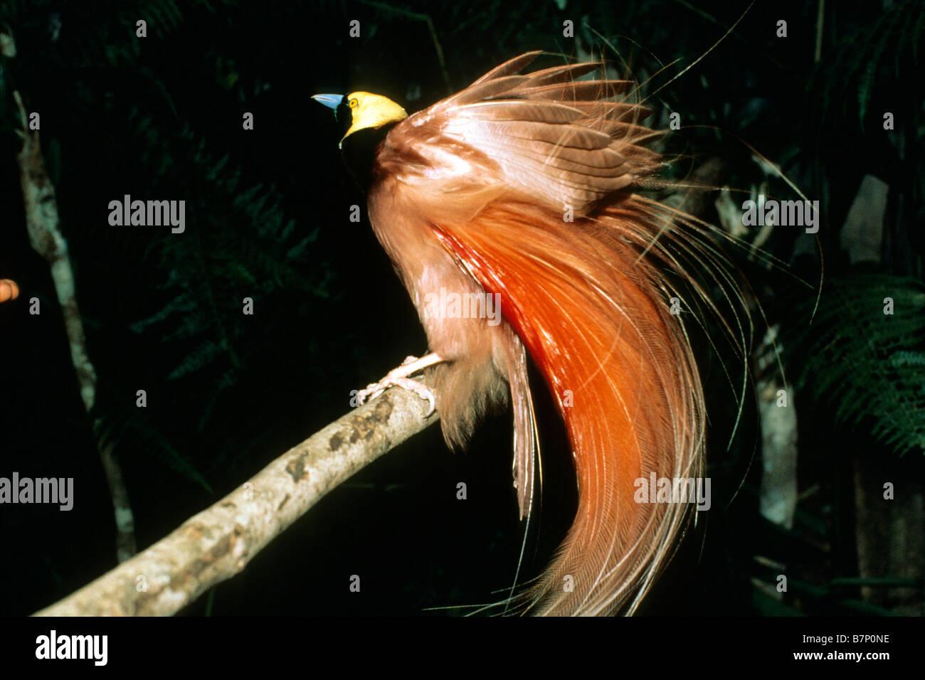 Raggiana Bird of Paradise (Paradisaea raggiana), displaying male - Stock Image