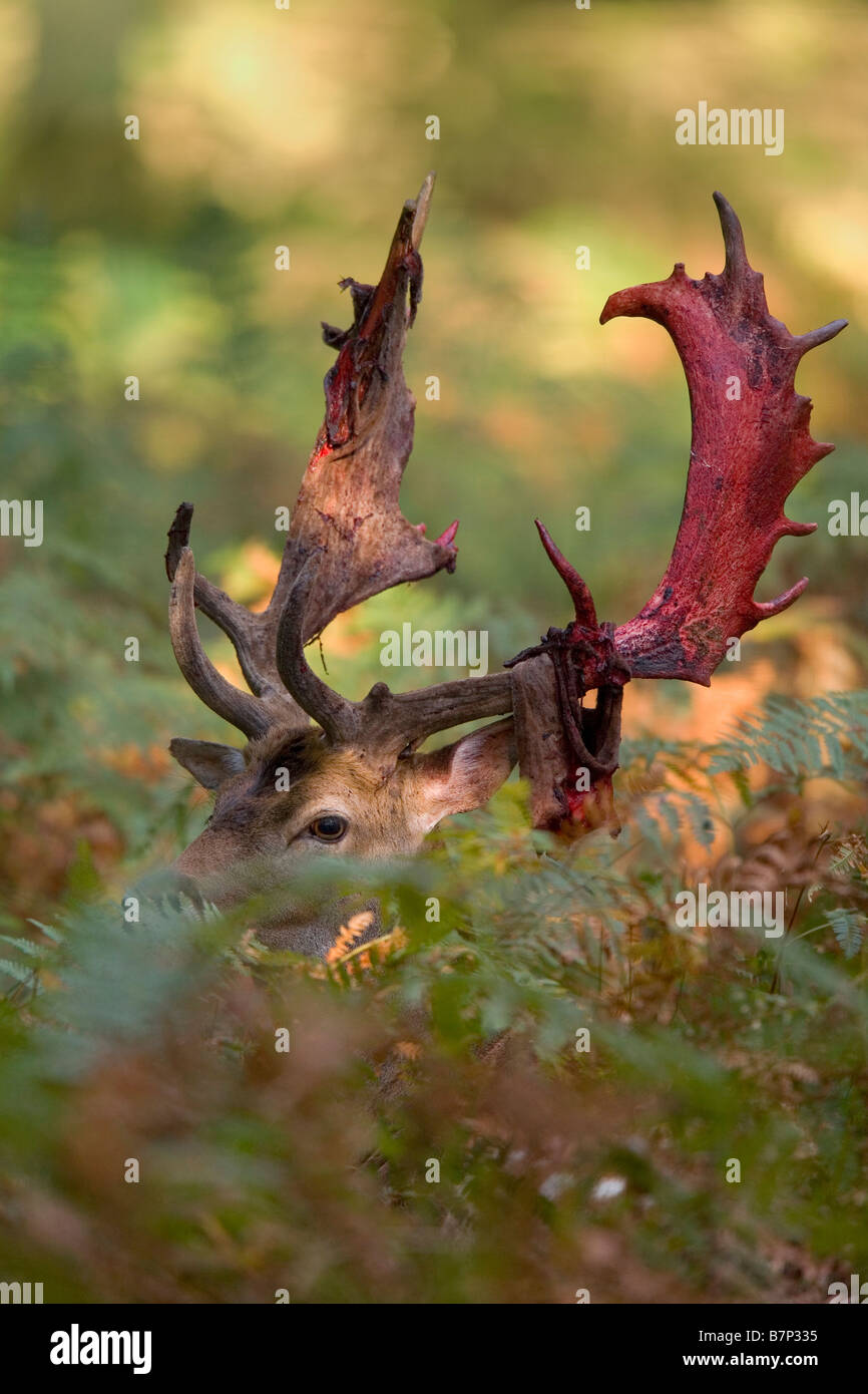 Fallow Deer (Dama dama, Cervus dama). Stag with partially shed velvet among ferns - Stock Image