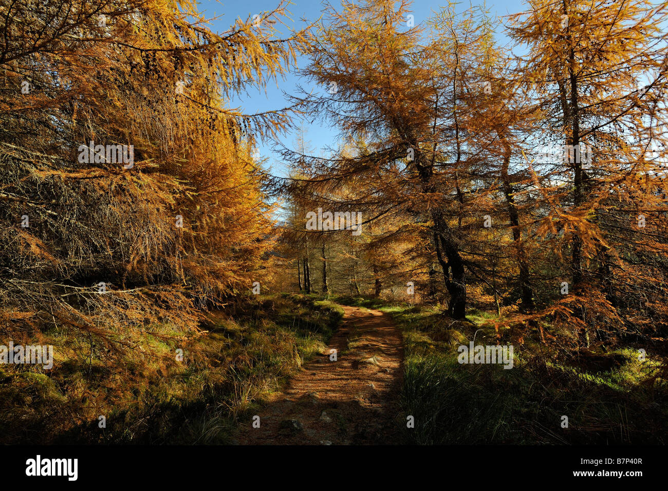Larch trees in autumn colours along the trail of the West Highland Way near Crianlarich Scottish Highlands UK - Stock Image