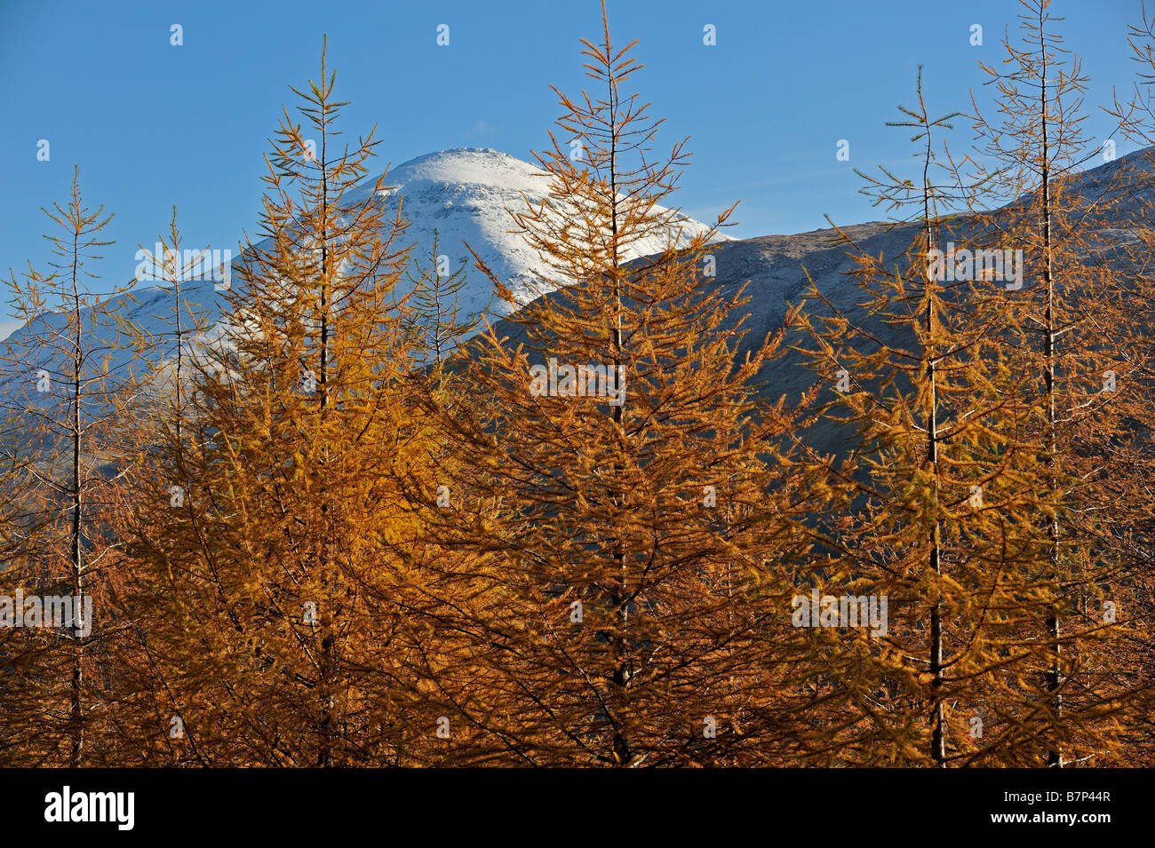 Larch trees in autumn colours along the West Highland Way with Ben More behind near Crianlarich Scottish Highlands - Stock Image