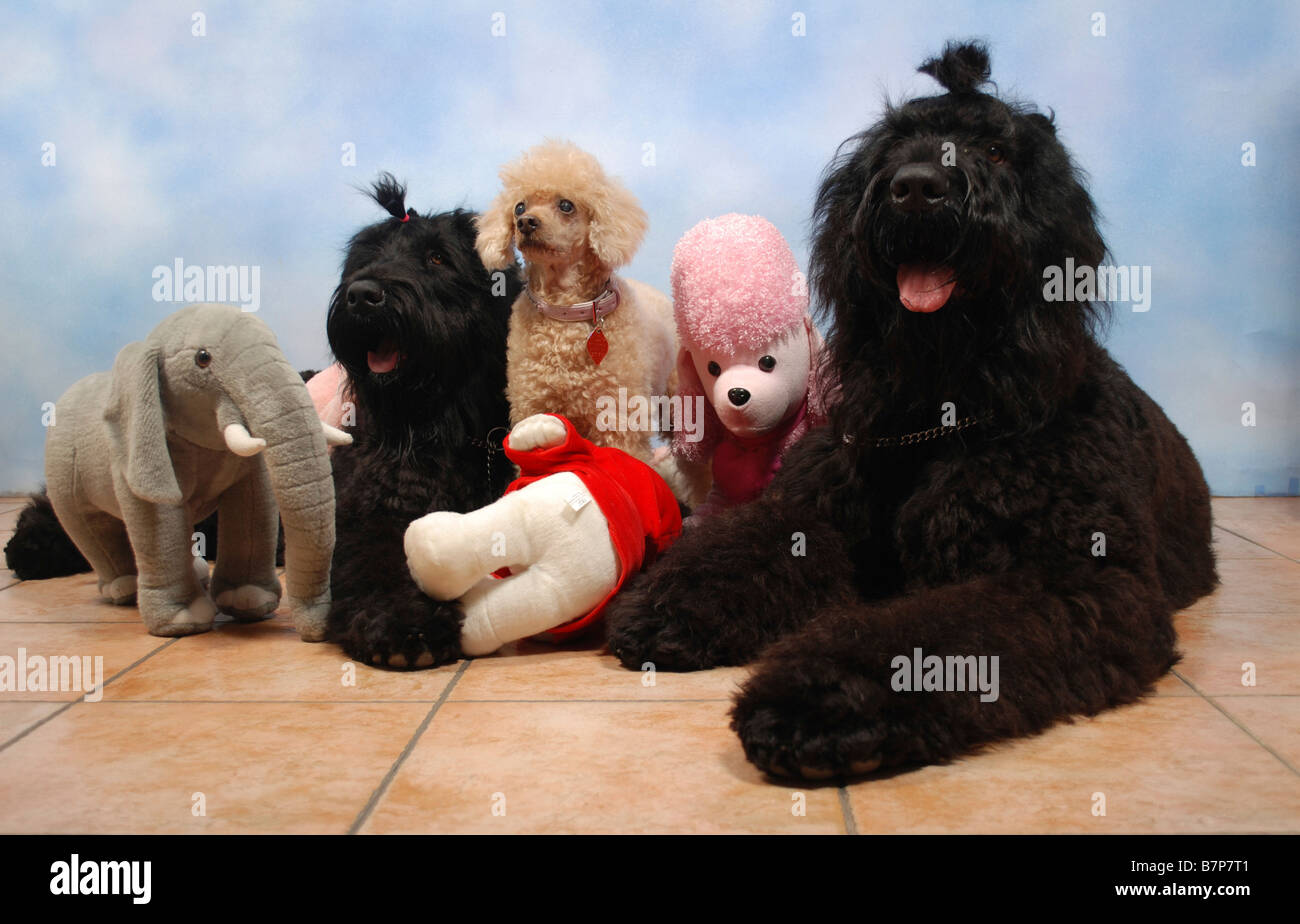 2 Black Russian Terriers and one Apricot Miniature Poodle sitting facing camera with stuffed toys Property release - Stock Image