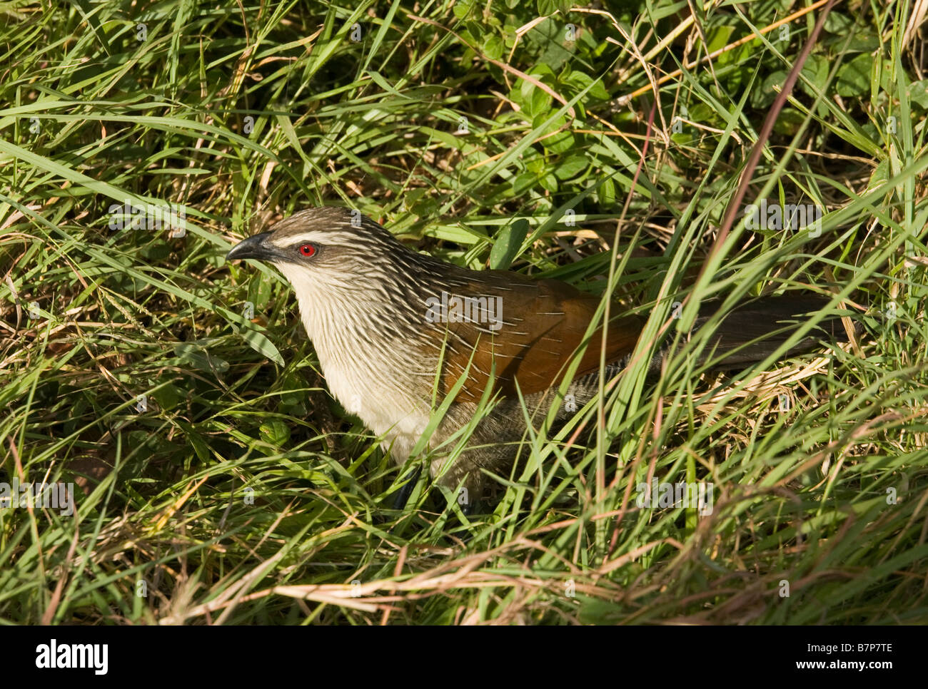White Browed Coucal on the plains of the Masai Mara in Kenya - Stock Image