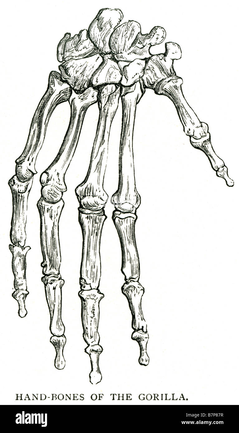 Hand Bones Gorilla Skeleton Anatomy Finger Thumb Knuckle Stock Photo
