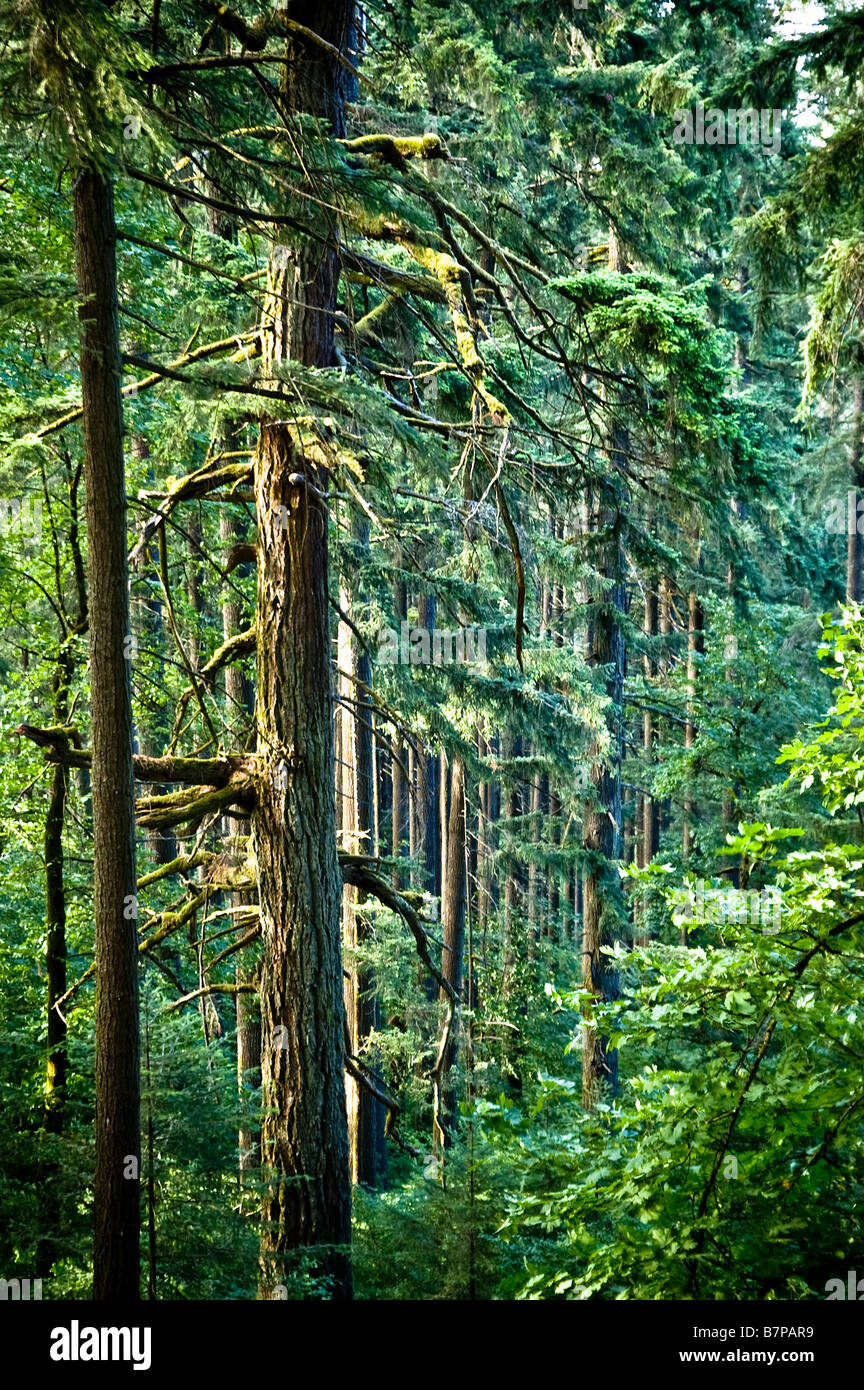 Douglas firs in an old-growth forest, near Eugene, Oregon. - Stock Image