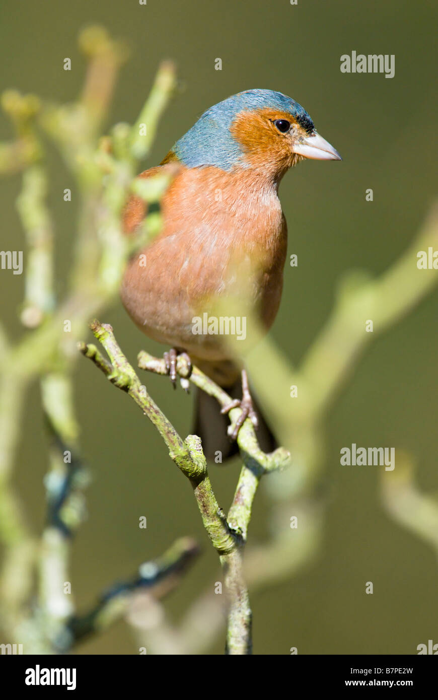 Caffinch perched in branches - Stock Image