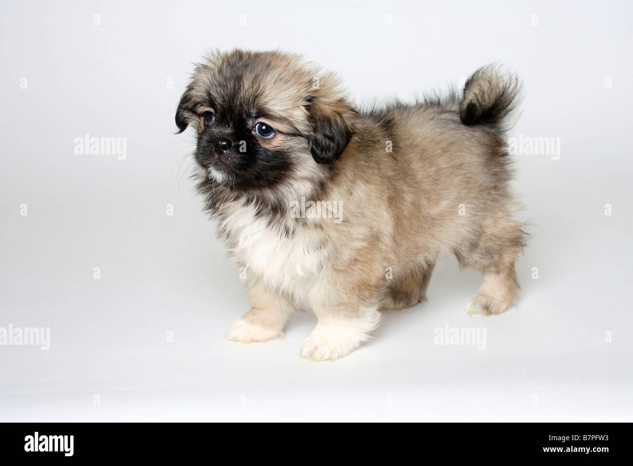 Tibetan Spaniel Puppy 8 Weeks Stock Photo Alamy