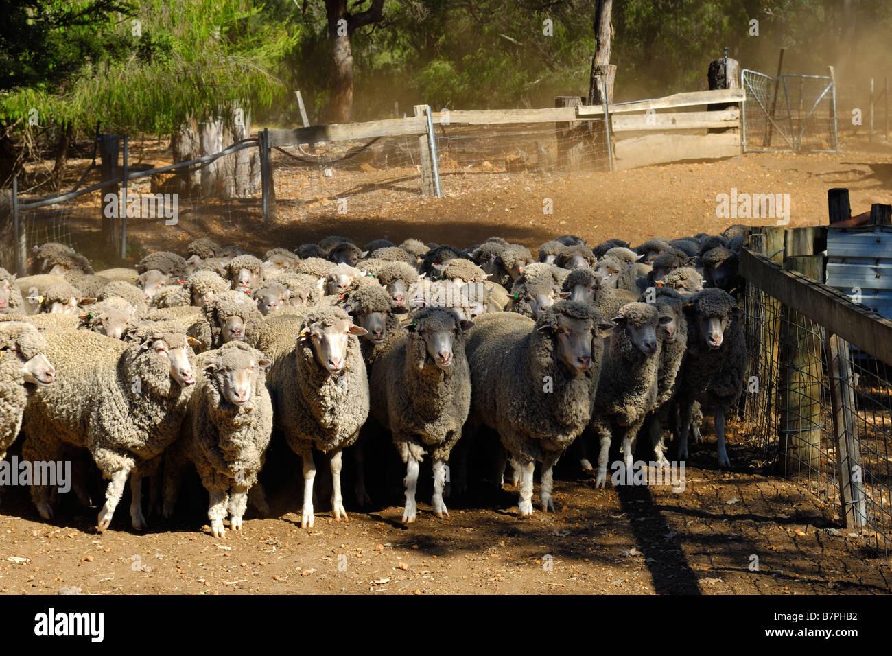 Rounding up merino sheep Western Australia - Stock Image