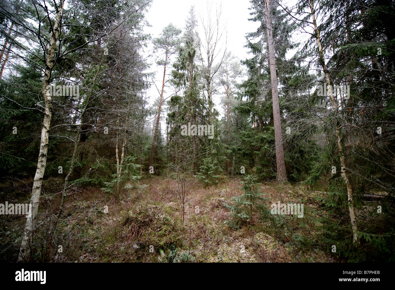 Typical swedish forest - Stock Image