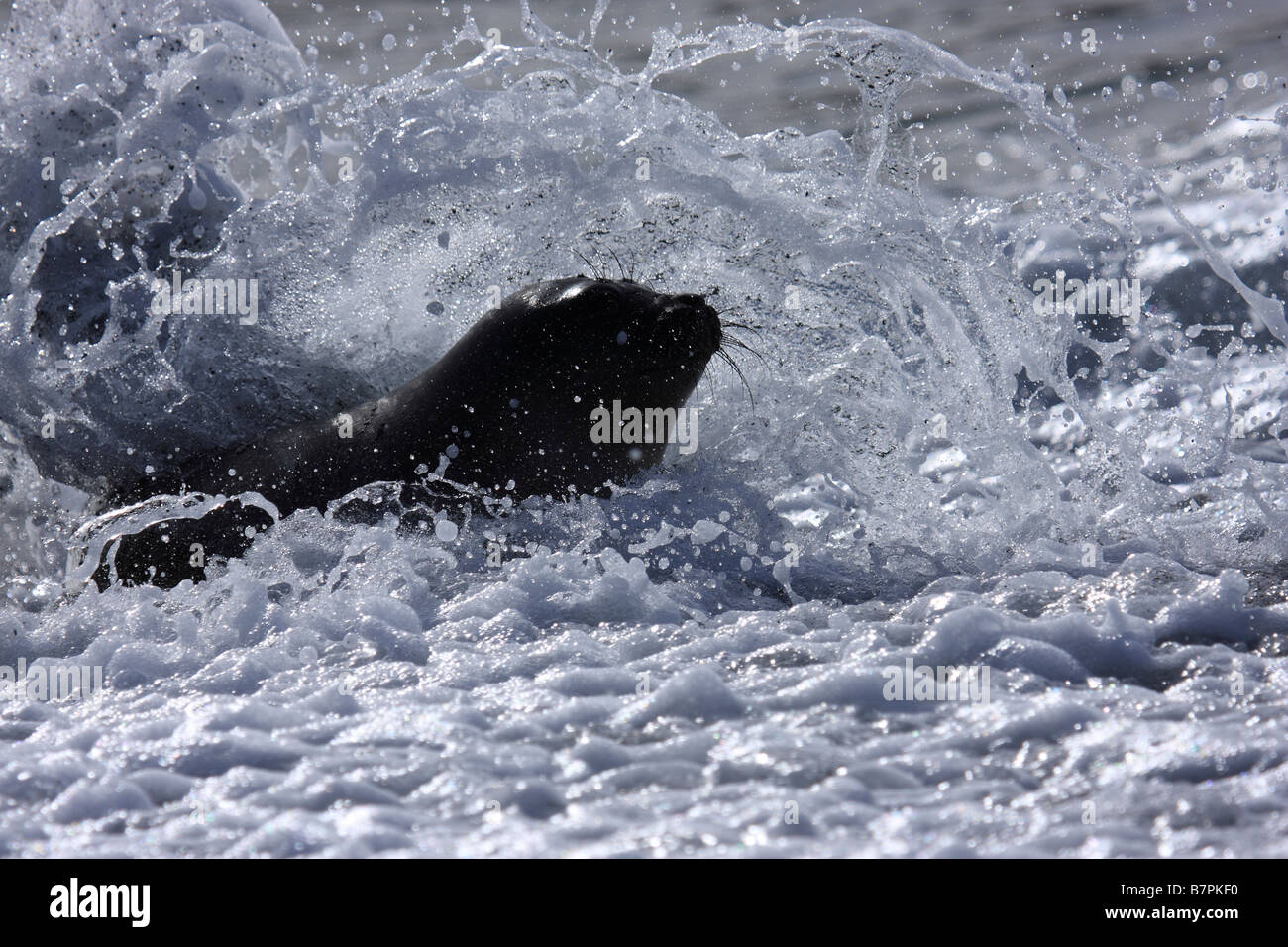 Fur Seal comes ashore in the surf and spume at Gold Harbour South Georgia - Stock Image