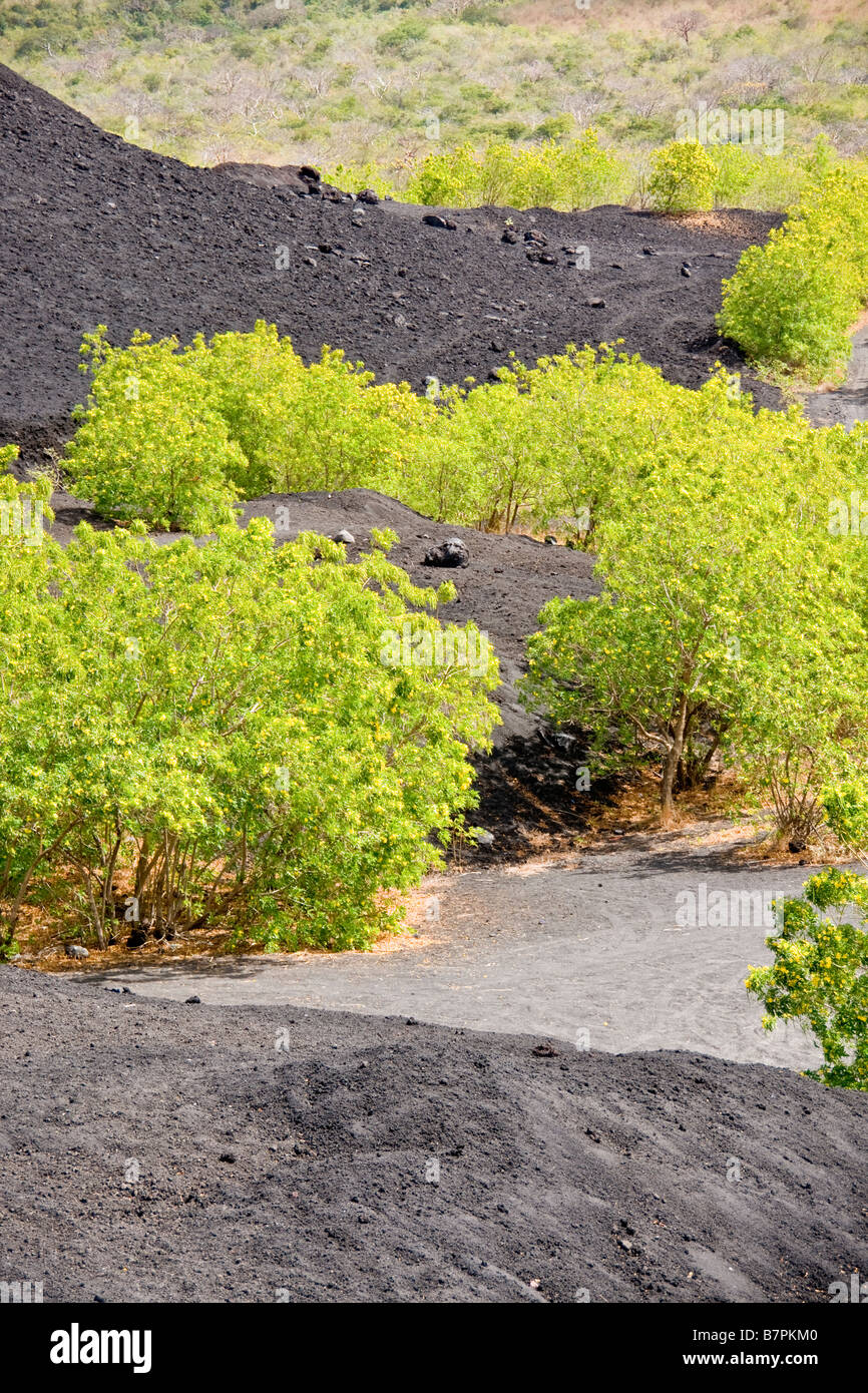 Cerro Negro, volcanic debris from lava flow at base of mountain with new tree growth - Stock Image