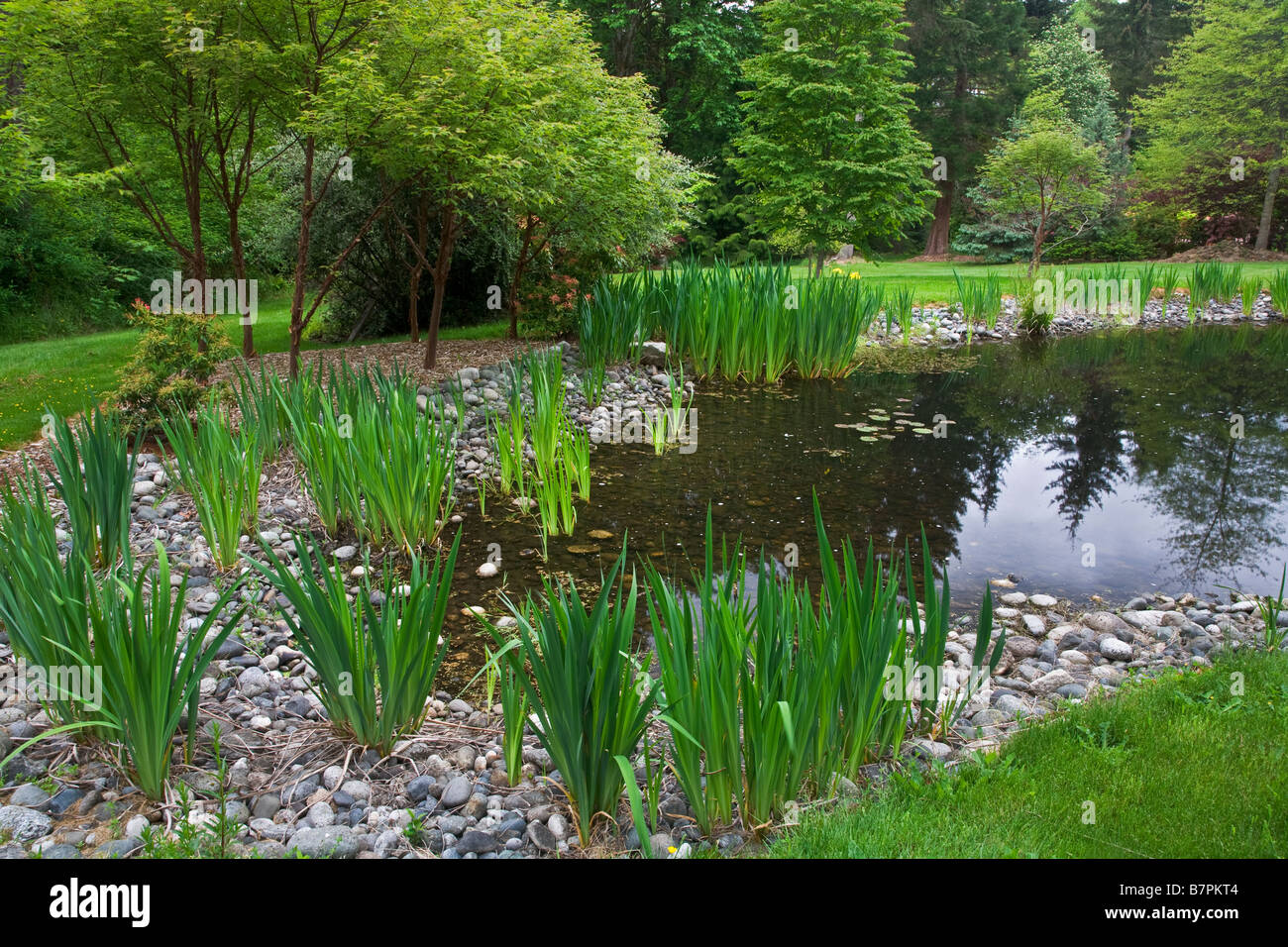 Vashon Island WA Pacific northwest garden pond with yellow flag iris along the margins - Stock Image