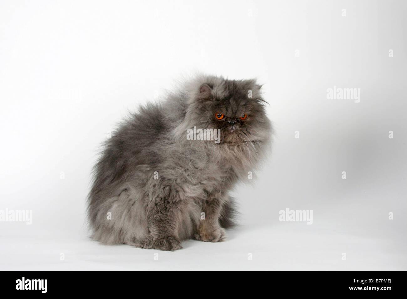Persian Cat tomcat blue smoke - Stock Image