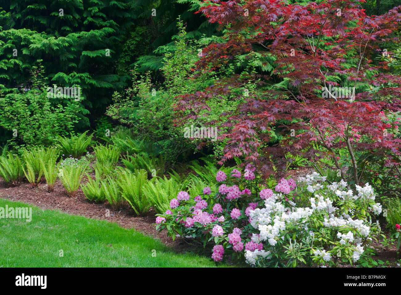 Vashon Island WA: Pacific Northwest forest garden featuring flowering rhododendrons Japanese maples and sword ferns - Stock Image