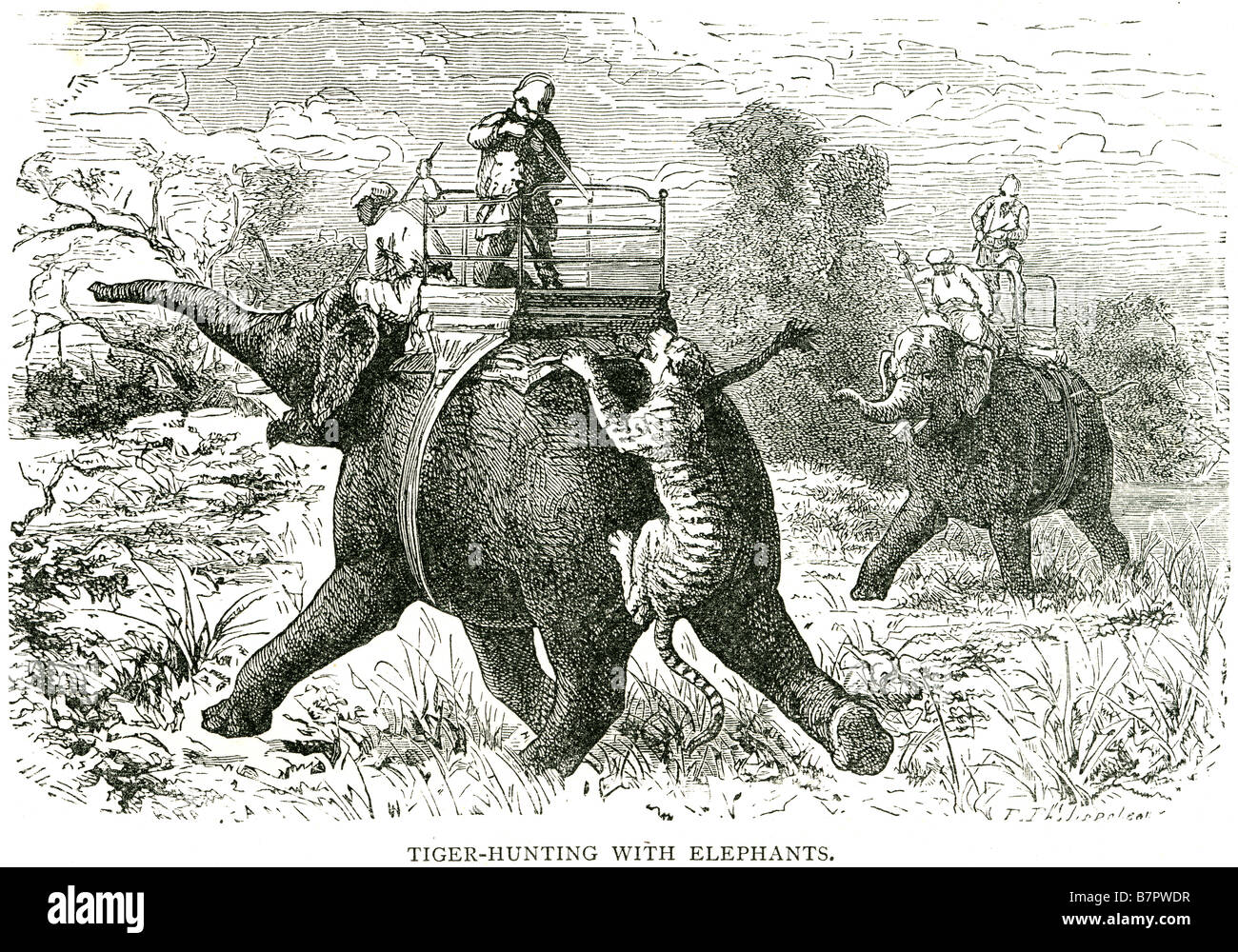 tiger hunting elephants Humans are the tiger's most significant predator, as tigers are often poached illegally Stock Photo