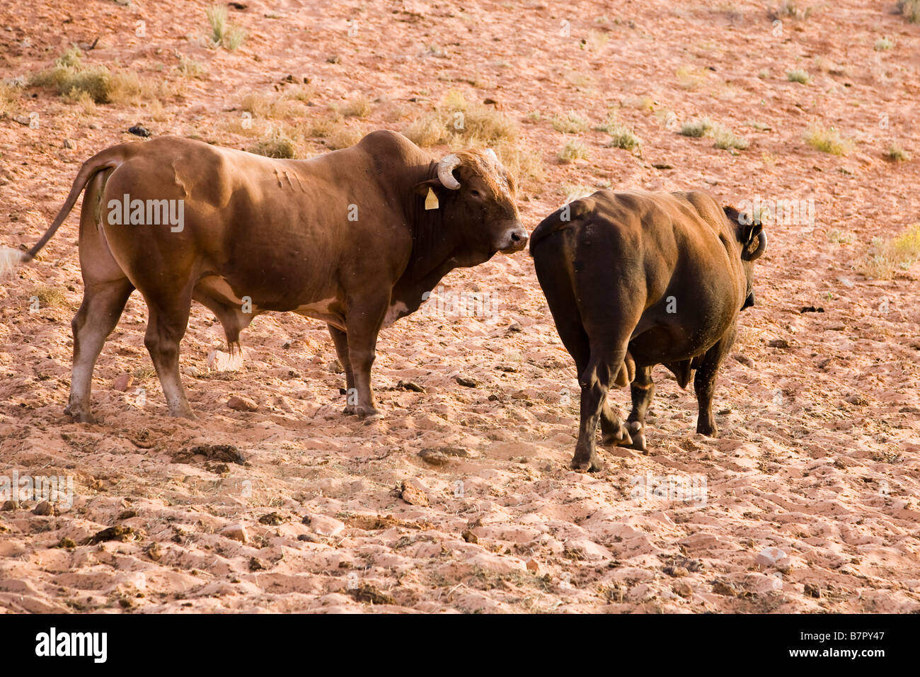 Cattle breeding in Arizona, USA - Stock Image