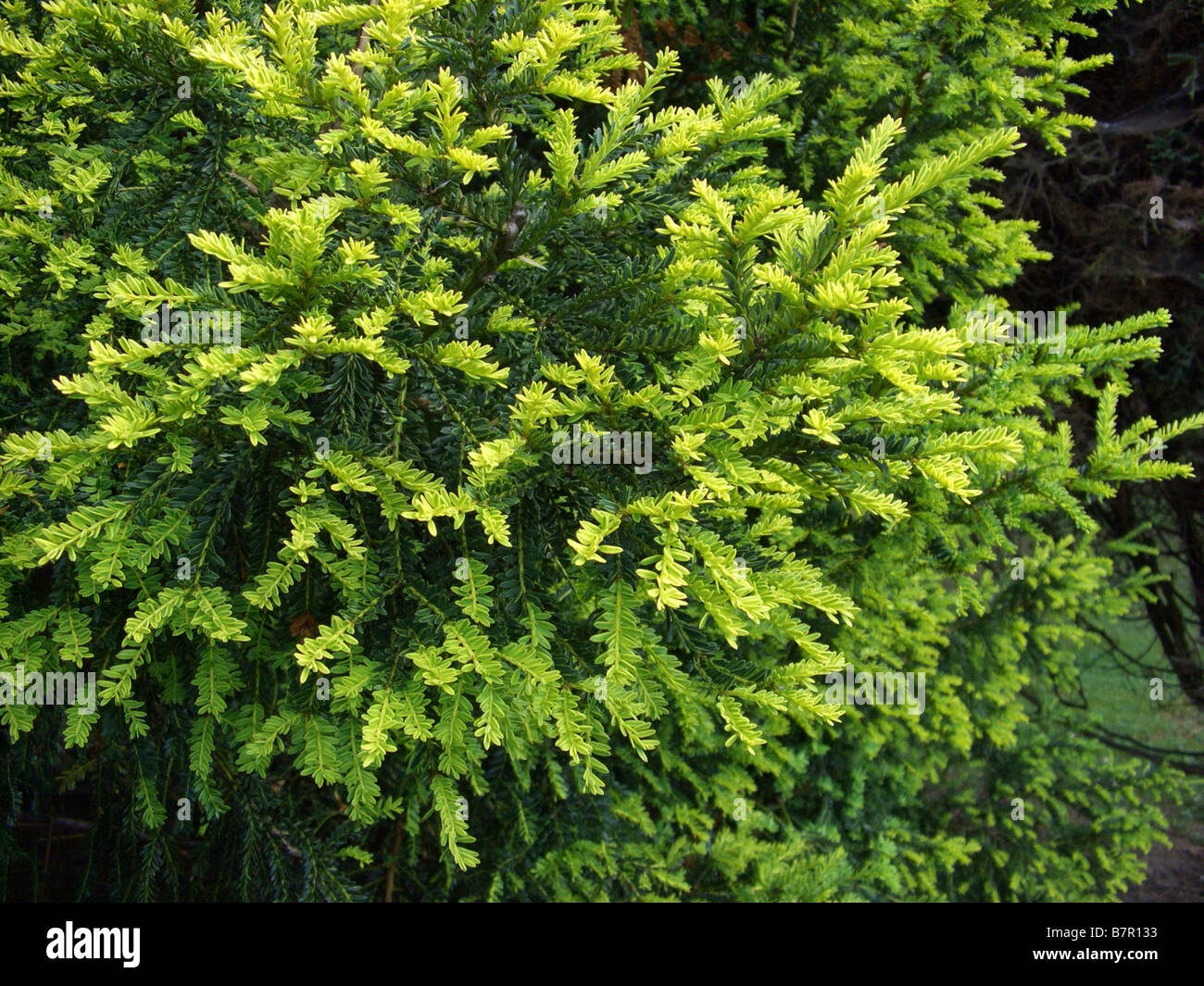 Common yew (Taxus baccata 'Adpressa Aurea', Taxus baccata Adpressa Aurea), sort Adpressa Aurea - Stock Image