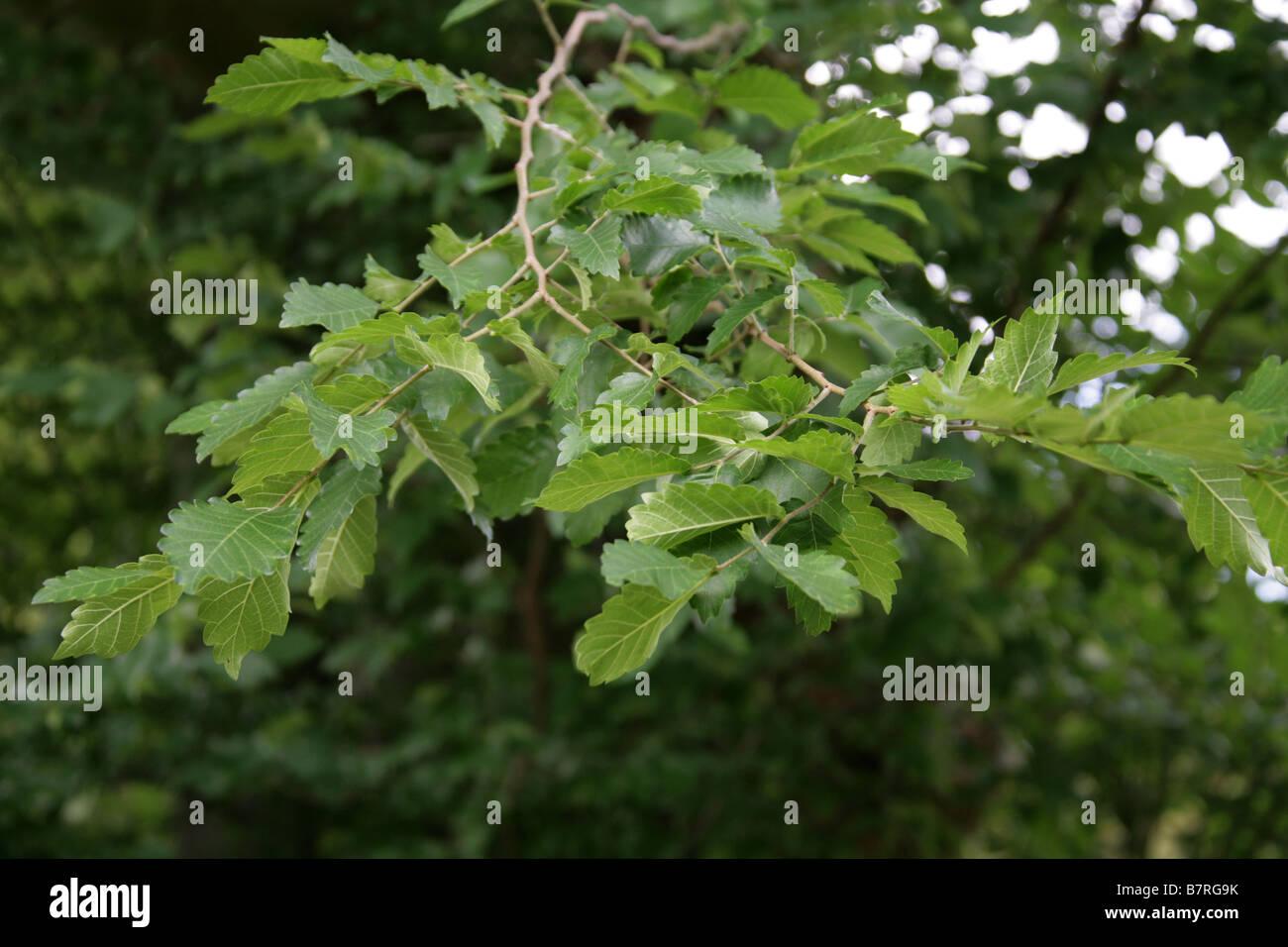 Caucasian Elm, Zelkova or Caucasian Zelkova, Zelkova carpinifolia, Ulmaceae, Turkey and Iran - Stock Image