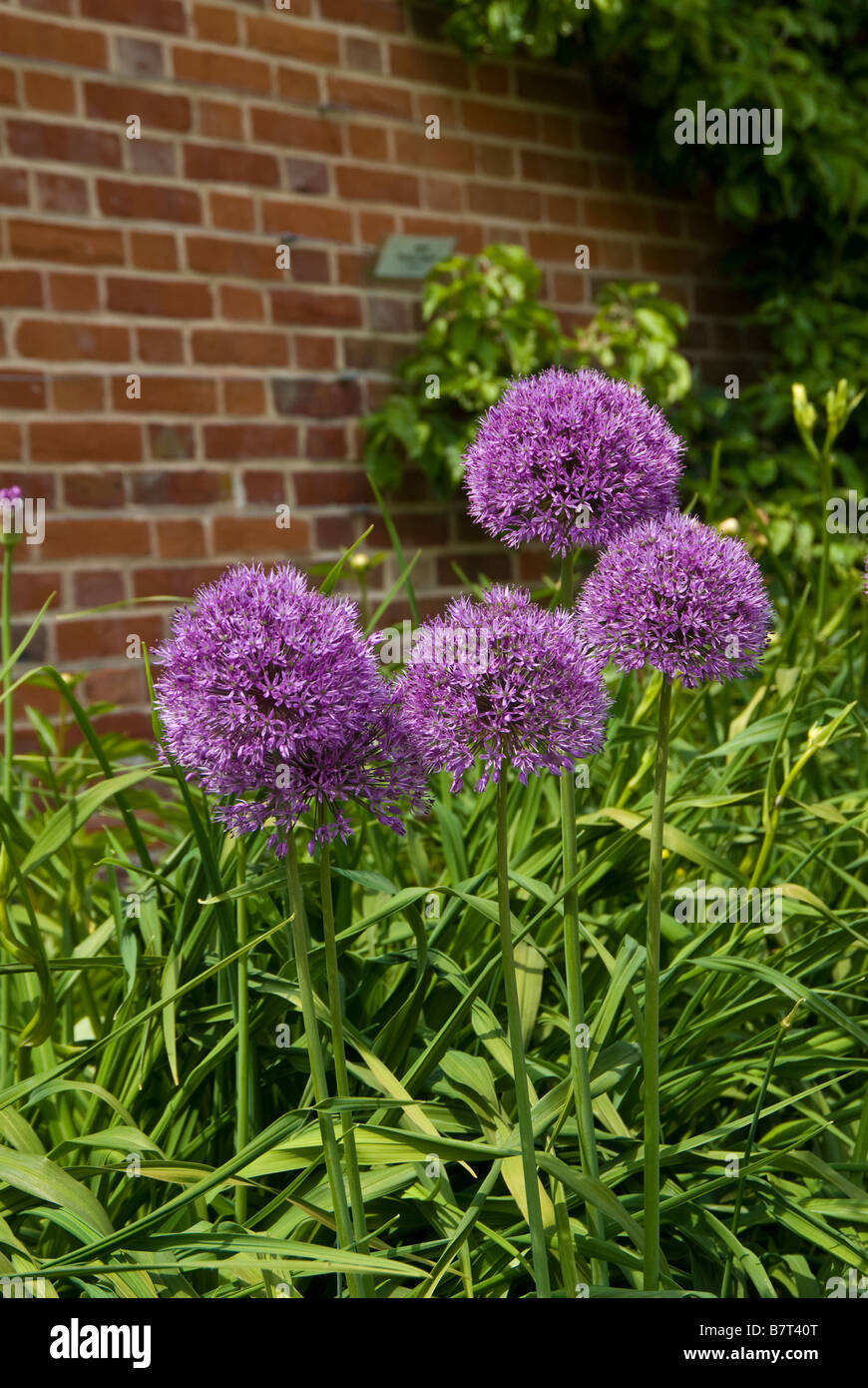 Allium flowers against a red brick wall. - Stock Image