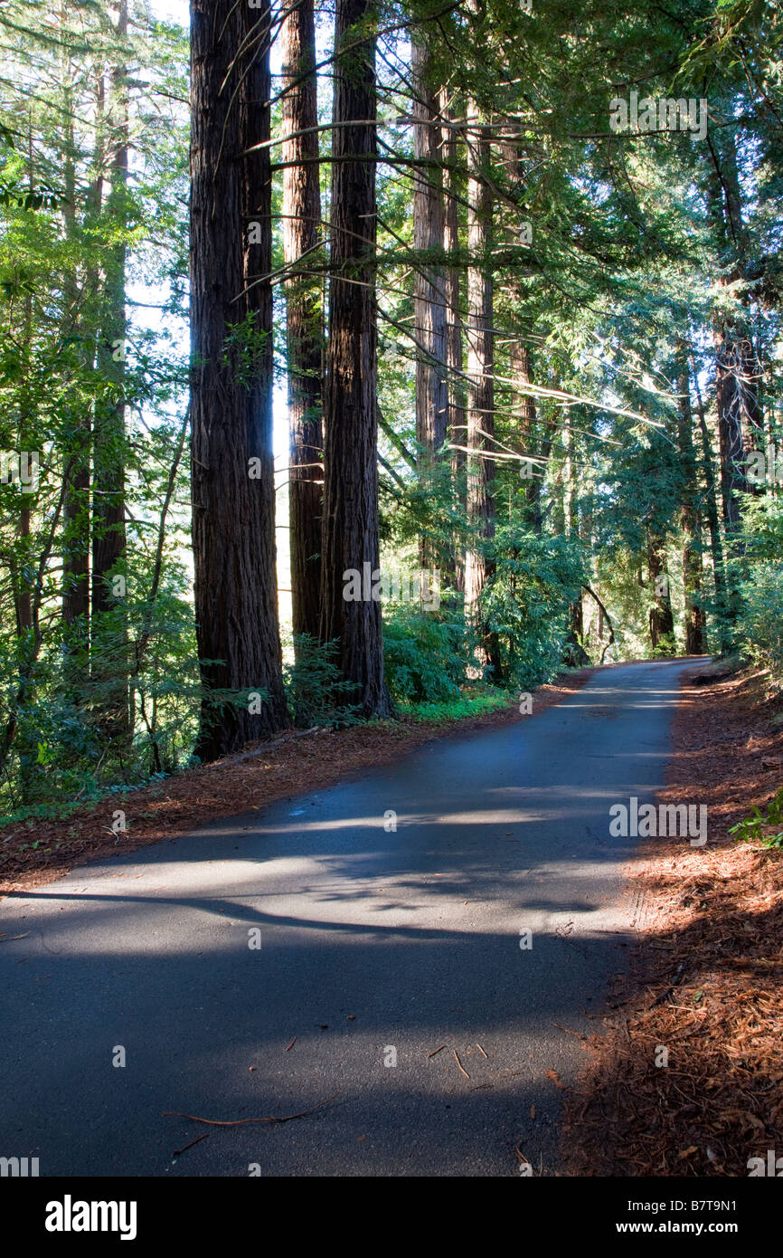 Narrow road lined by redwood trees near the Big Sur Lodge, Julia Pfeiffer Burns State Park, Big Sur coast, California, - Stock Image