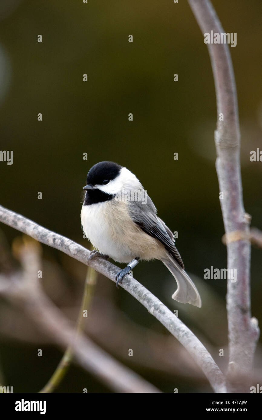 Carolina Chickadee - Stock Image
