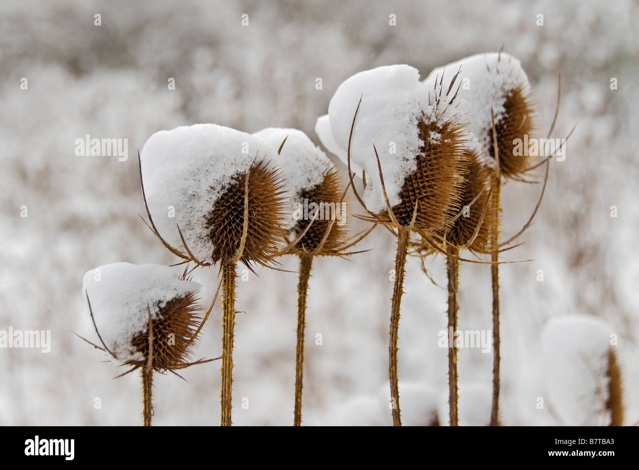 Teasels and snow - Stock Image
