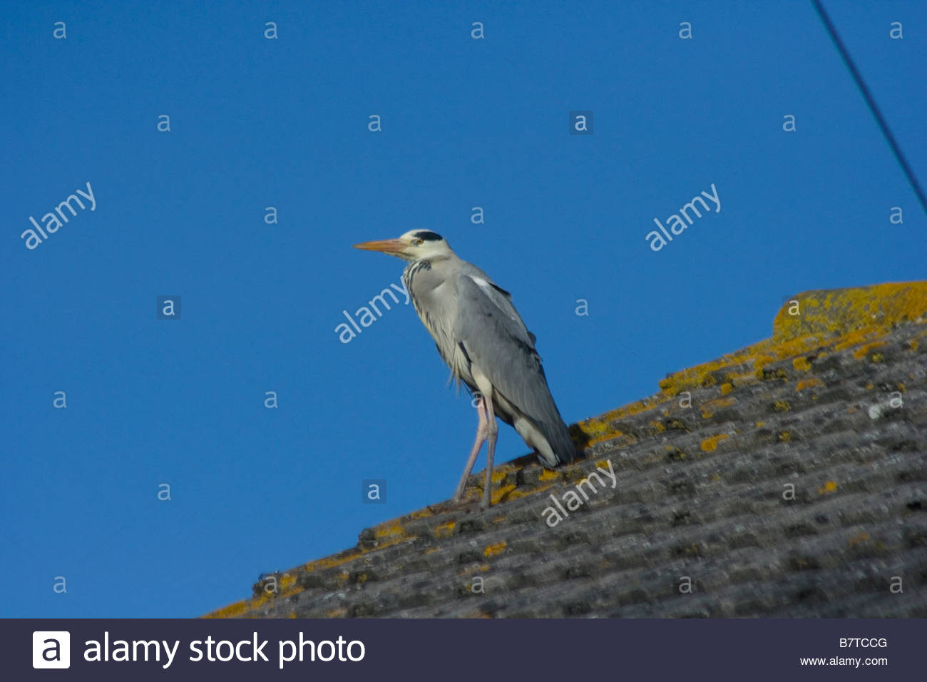 Wild Grey Heron in Urban Environment on House Roof Hampshire England - Stock Image