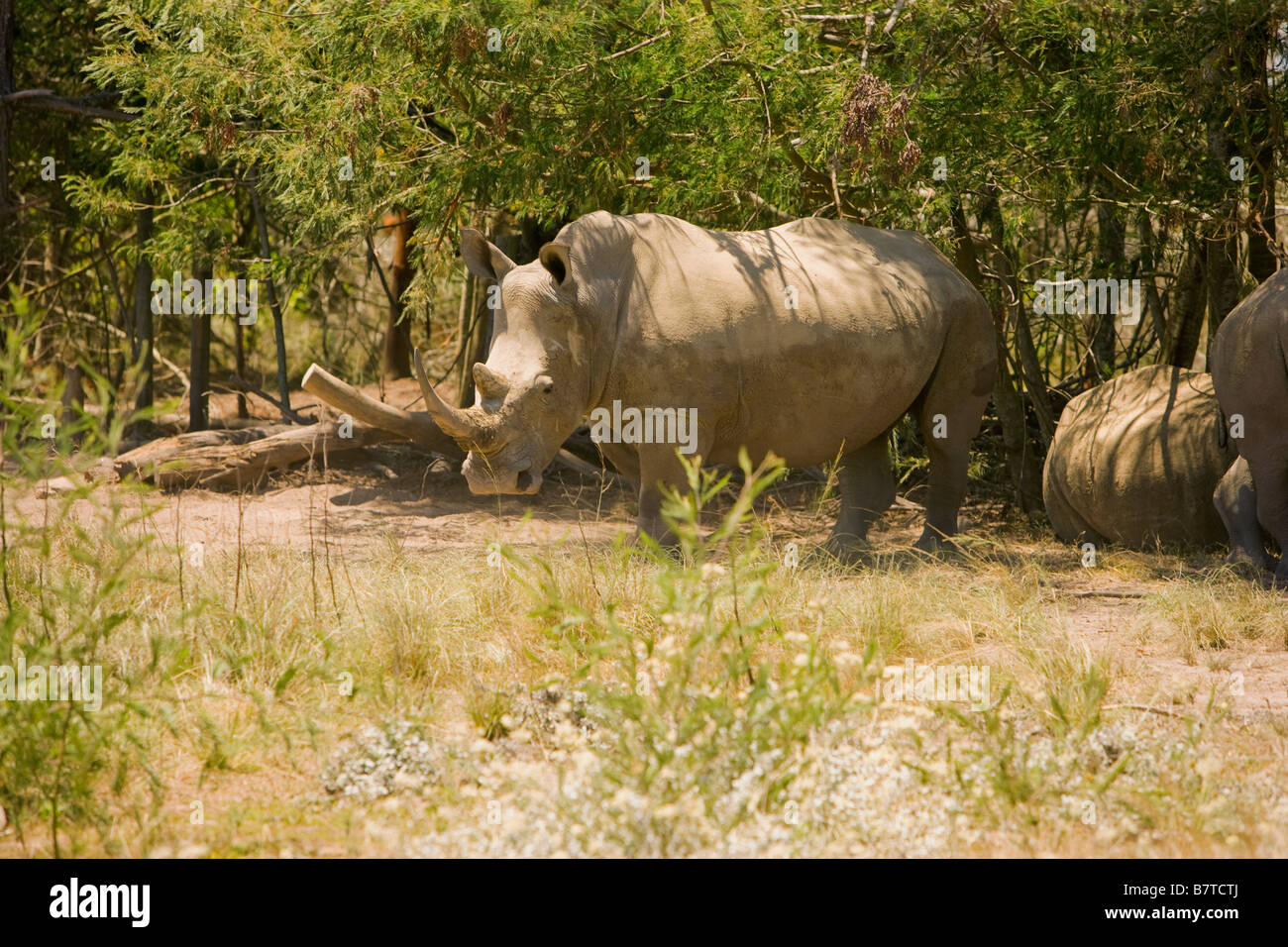 White rhino in South Africa - Stock Image