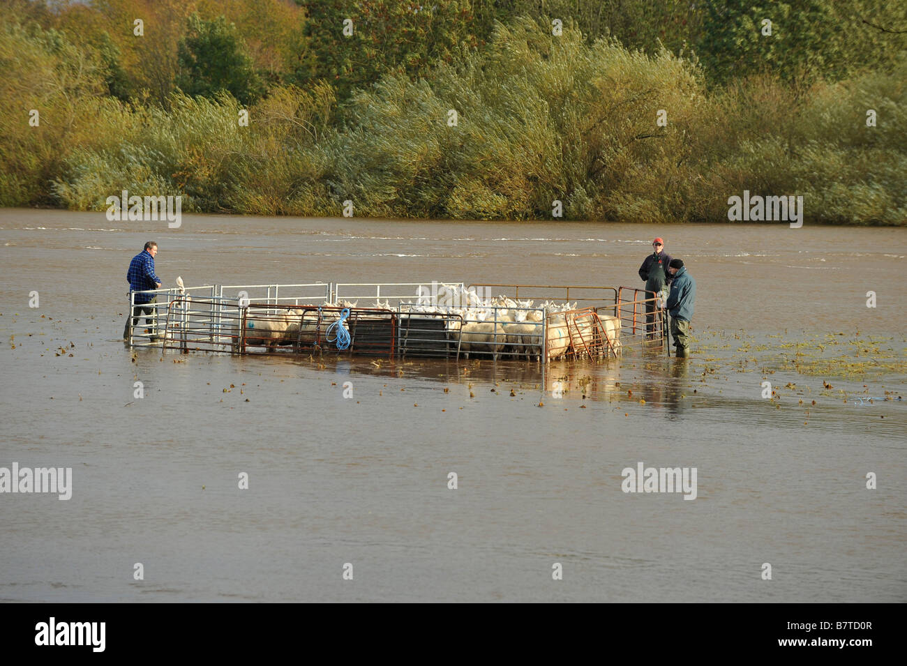 Farmers wade into floodwaters on the River Eden to rescue a flock of stranded sheep - Stock Image