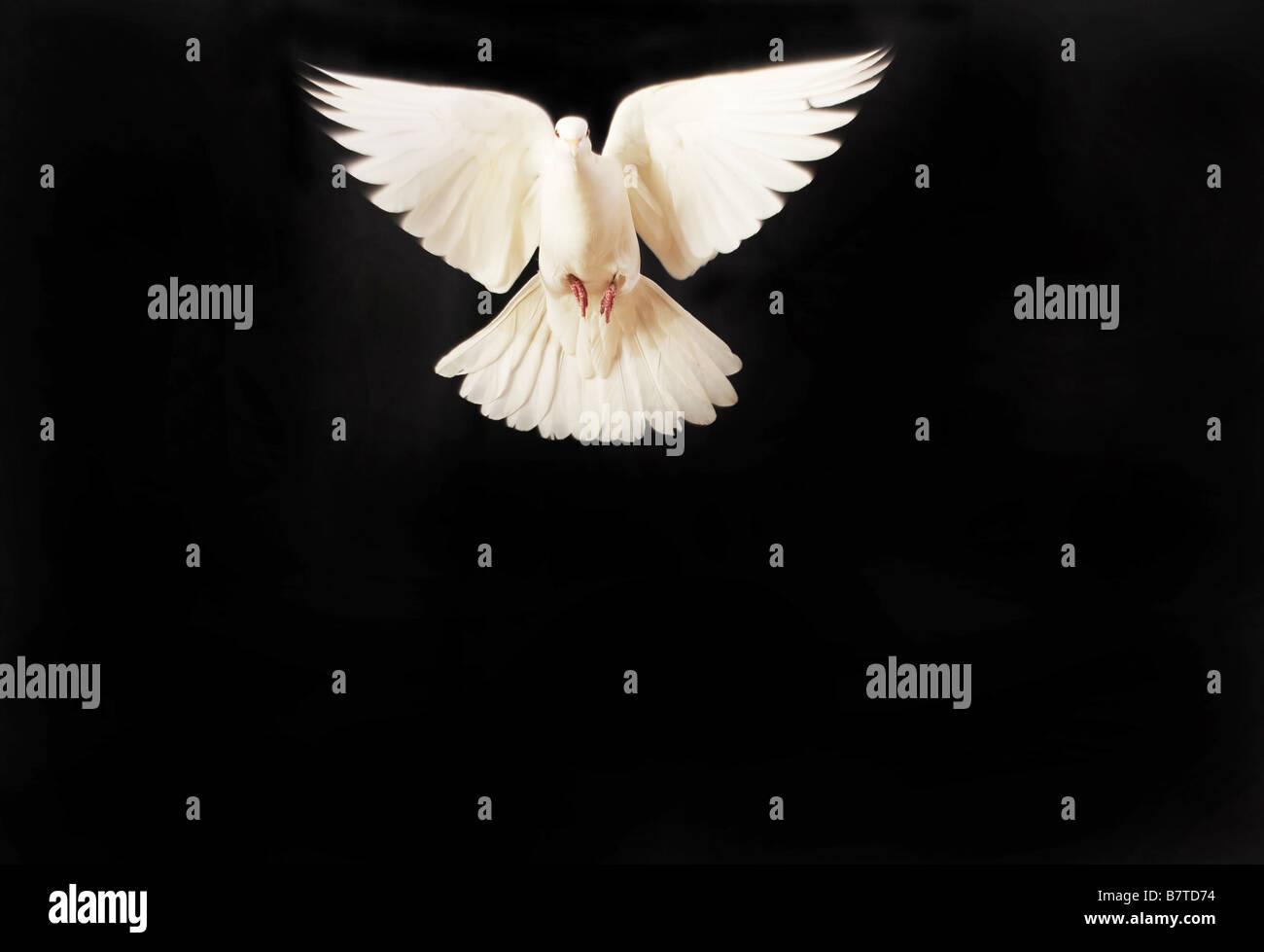 flying white dove isolated on black - Stock Image