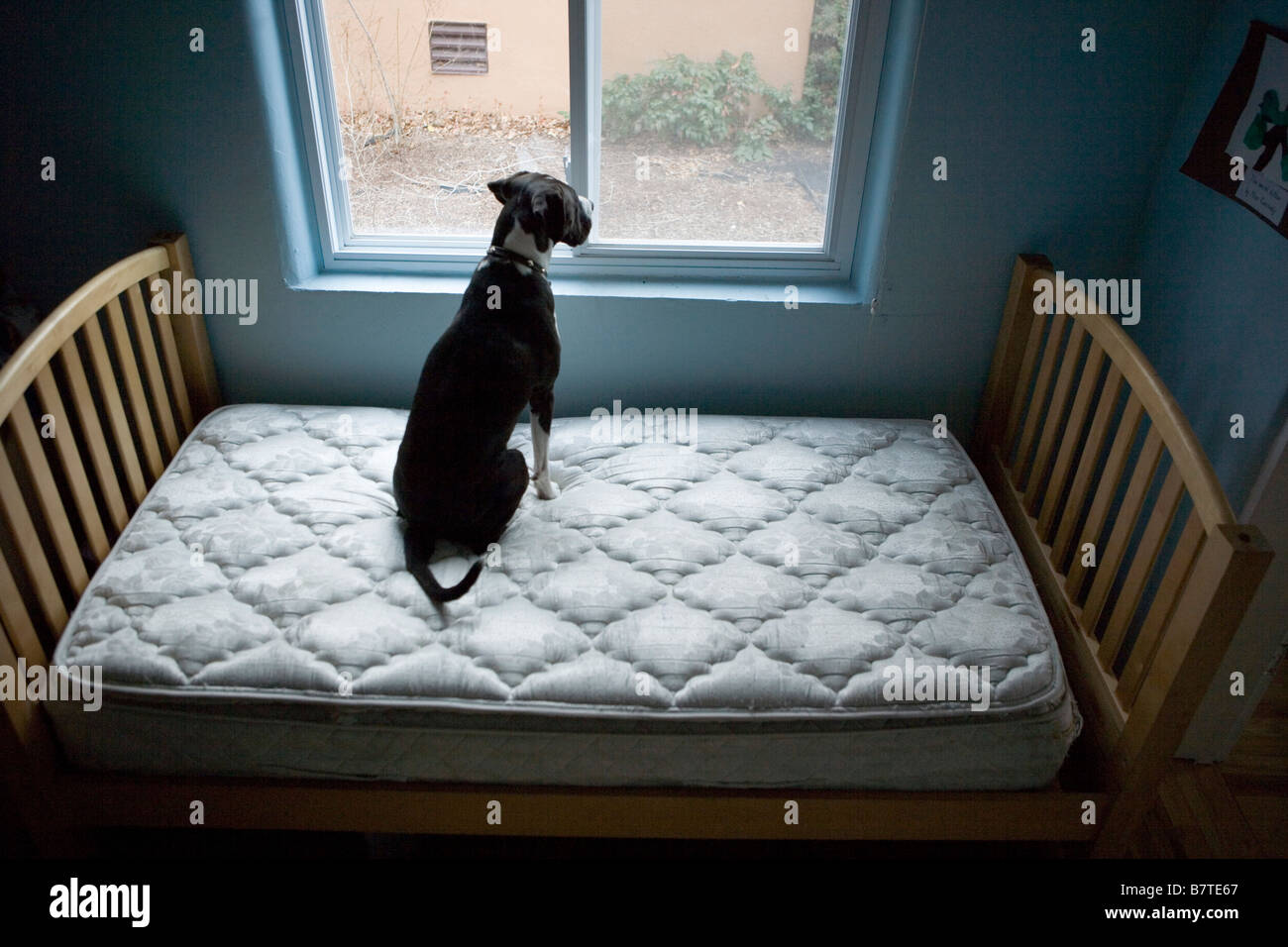dog sitting on mattress alone, looking out the window - Stock Image
