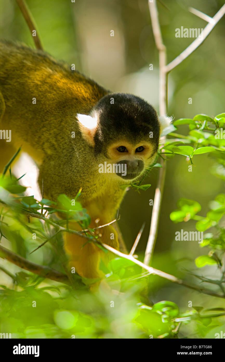 Squirrel monkeys in trees - photo#37