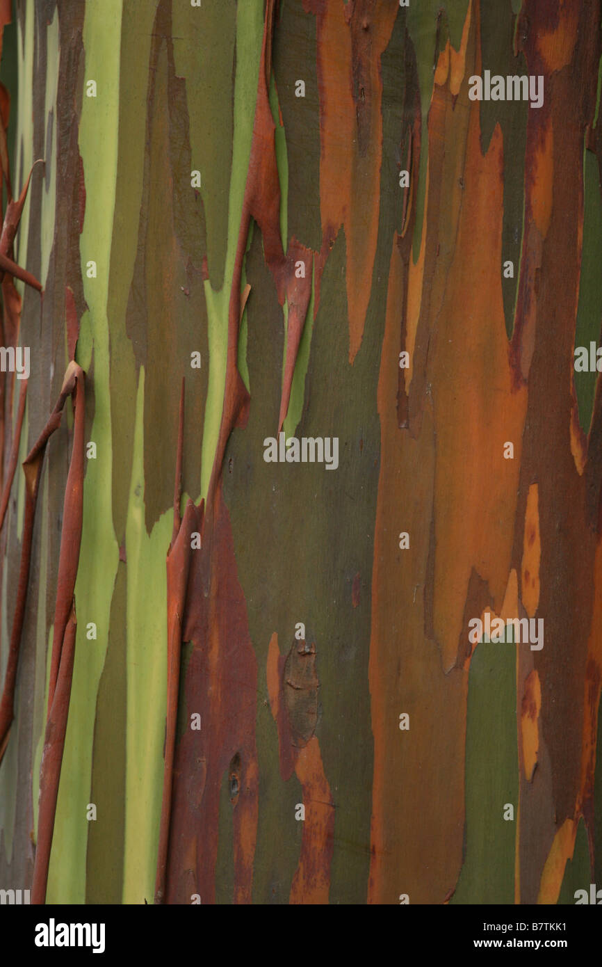 Detail of fabulous colorful bark of Rainbow Gum Eucalyptus, (Eucalyptus deglupta) Stock Photo