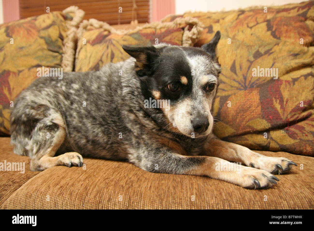 aussie on sofa - Stock Image