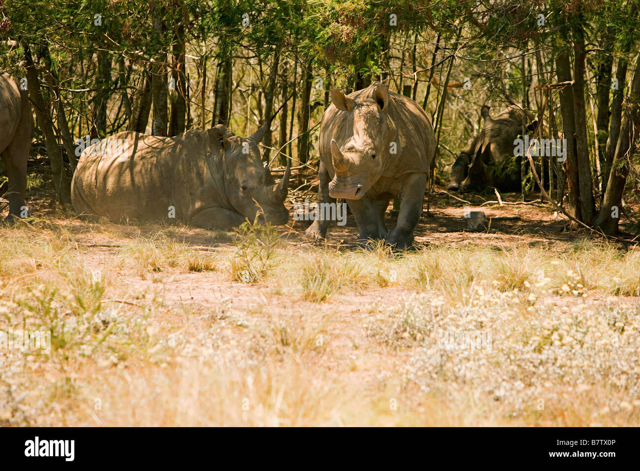 White Rhino getting ready to charge - Stock Image
