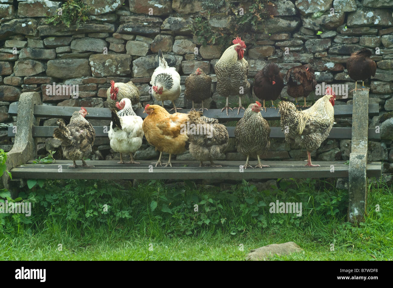 Cockerels and Chickens sitting in a row on a bench in Cumbria - Stock Image