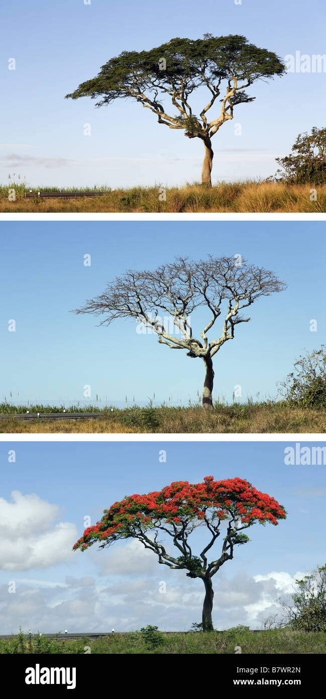 sequence of Royal poinciana tree - Stock Image