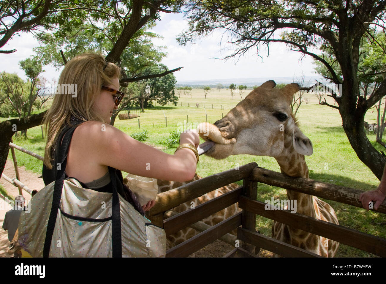 Woman feeds Giraffe Game Park South Africa - Stock Image