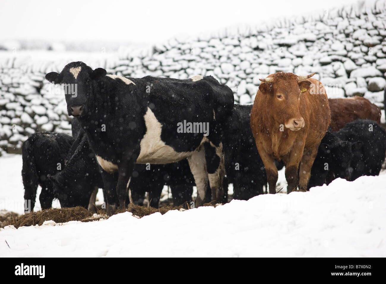 Cattle grouped in snow covered field, Yorkshire UK - Stock Image