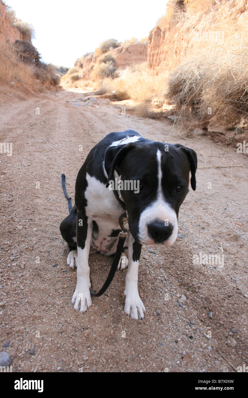 Large black and white dog with leash sitting on dirt road waiting with head down