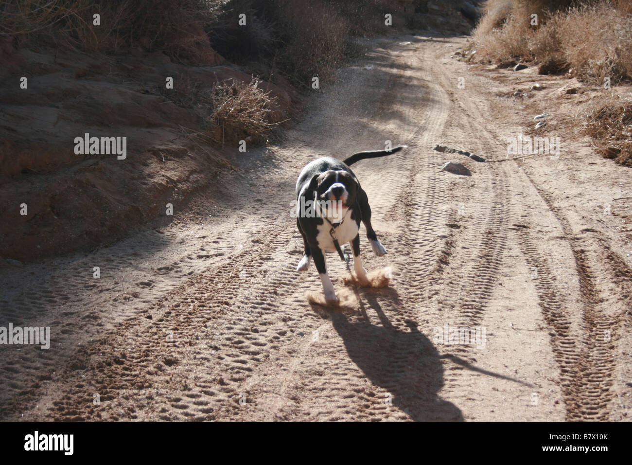 pitbull running at high speed on dirt road - Stock Image