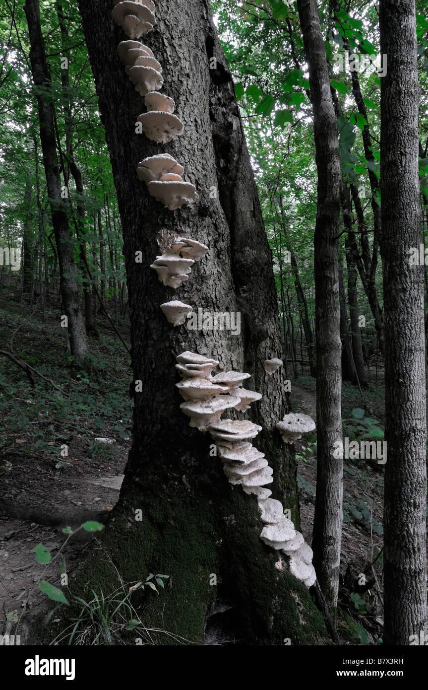 white bracket shelf fungus fungi fruiting bodies growing up along tree trunk Basidiomycota close planar grouping - Stock Image